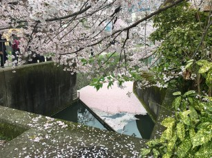 All the fallen petals collected at the end of the canal...