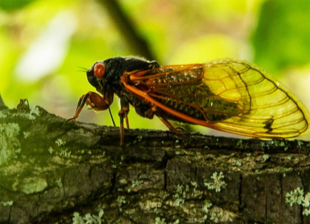 A brood X Cicada