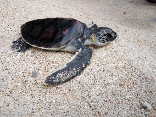 Tukik siap dilepas untuk hidup di alam bebas dari Pantai Maluk