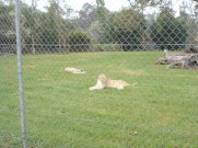 Other lionesses