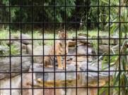A tiger's stare