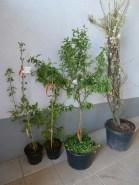 Menšie dreviny pre obecnú záhradu, vrátane drieňa.