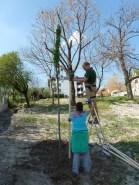 Záhradníci pripravujú oporu pre novo zasadenú slivku Prunus domestica.