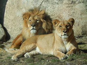 Aslan and Azizi