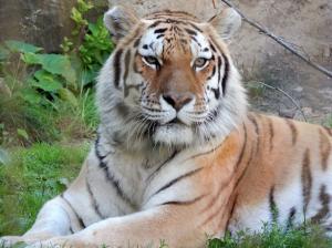 Tiger Racine Zoo