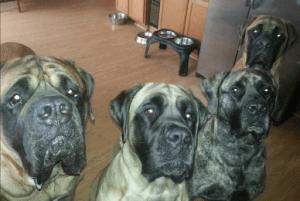 Cooper Pack of Mastiffs