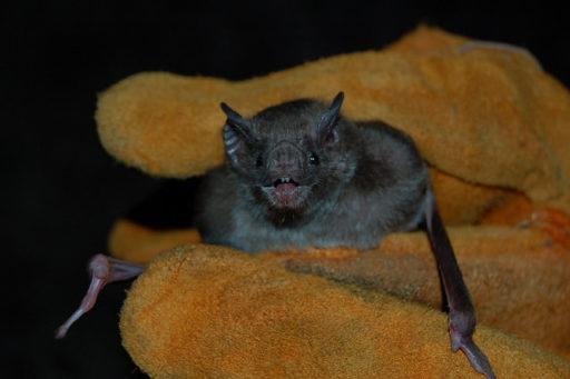 Rabies found In Bat