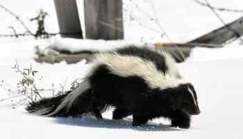 Minie the striped skunk