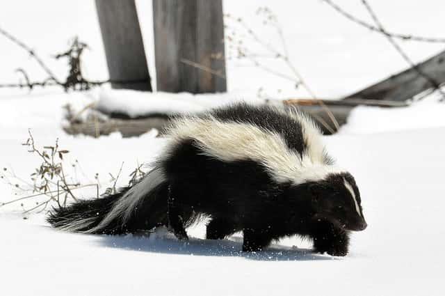 Minie the striped skunk