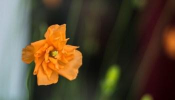 fire poppy flower