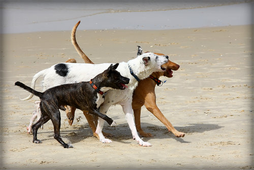 Three dogs walk shoulder to shoulder at beach.