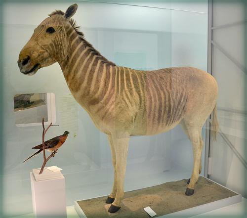 Quagga Naturhistorisches Museum, Basel. Photo: Vassil.