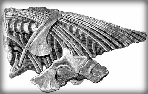 Mary Anning, First Ichthyosaur Skeleton, 1814.