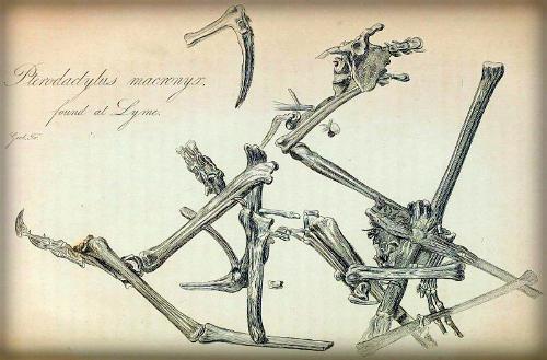 2-Pterodactylus_macronyx