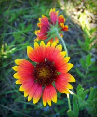 San Antonio Battle of Flowers Parade, Blanket Flower. Image: DanielCD.