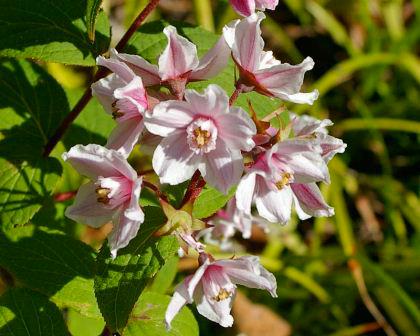 Deutzia-gracilis-pink. Image: GardensOnline.com.