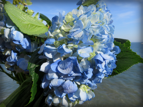 Blue Hydrangea. Photo: B. Rose Media.