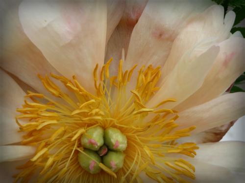 Victorian Flowers, Double Peonies. Image: B. Rose Media.
