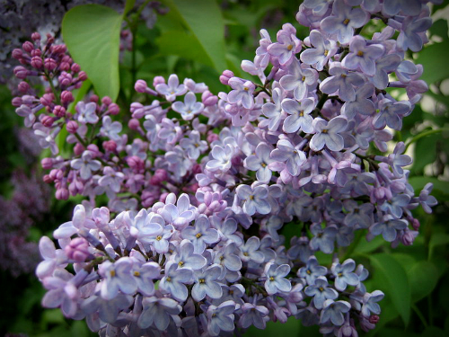 Victorian Flowers, Double Lilacs. Image: Marisa DeMeglio from NYC, USA.