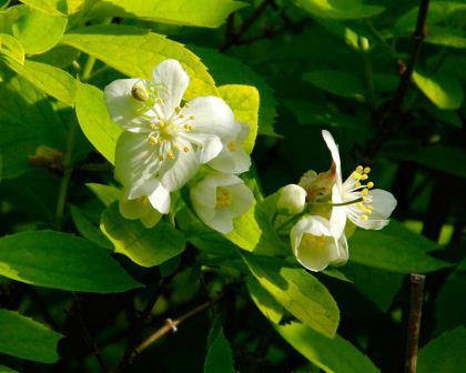Mock Orange, Philadelphus-Coronarius. Image: GardensOnline.com.