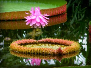 Giant Water Lily Amazonica. Image: frank wouters; Wikipedia.