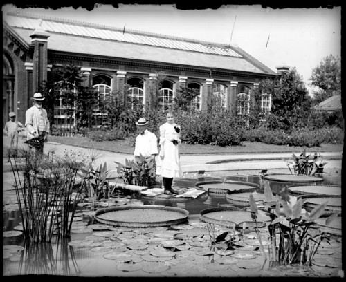 Giant Victoria Water Lily: Linnaean House, 1902. Image: Wikimedia/Missouri Botanical Garden.Nineteenth-Century Giant Water Lily: Linnaean House, 1902. Image: Wikimedia/Missouri Botanical Garden.