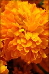Cempasuchil (marigold). Image: Template:Mi galeria by Lajuarezo.
