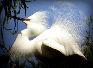 Christmas Bird Count-Snowy Egret-full breeding plumage. Image: Len Blumin; Wikimedia.