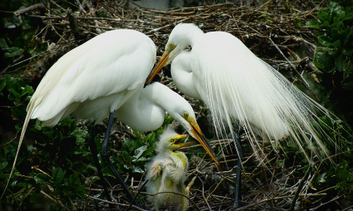Christmas Bird Count -Egret Family by AdA Durden. Image: Wikipedia.Egret Family by AdA Durden. Image: Wikipedia.