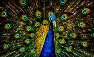 close up head up and feathers splayed out Peacock Plumage by Jatin Sindhu. Image: Wikipedia.