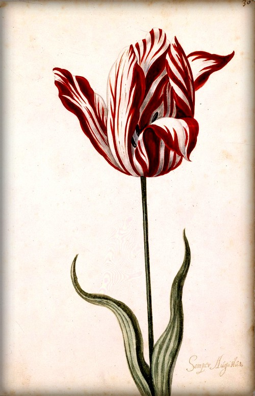Close up drawing of Red and white striped Tulip print, 1600s. Image: Wikipedia.