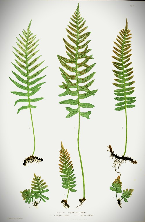 Plate from The ferns of Great Britain and Ireland by Thomas Moore, 1857. Image: Wikipedia.
