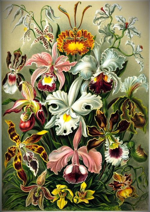 Orchids by Ernst Haeckel Kunstformen, 1899. Image: Wikipedia.