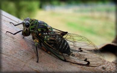 Chorus Cicada, Australia. Image: Joaquín Salido Bello; Wikipedia.