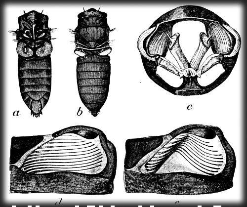 Cicada tymbals: sound-producing organs. Image: Encyclopaedia Britannica 1911; Wikipedia.