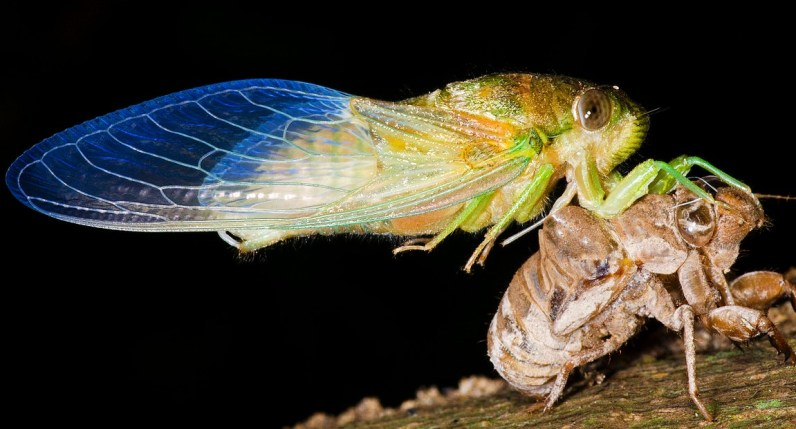 Cicada Just Emerged From Pupae. Image: M.Nielsen Photo; Wikipedia.