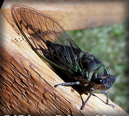 Cicada Mysteries, Black and green cicada with wings closed to sides on a branch, Annual Cicada (Neotibicen linnei), 2003. Image: Bruce Marlin; Wikipedia.