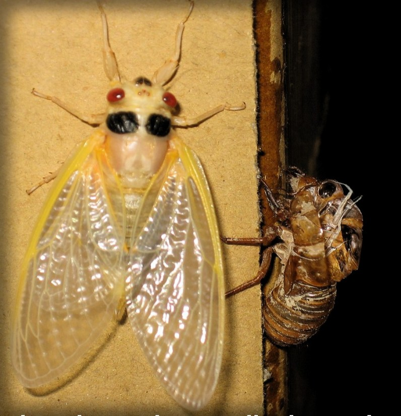 Cicada-Magicicada (that just molted.) Image: Jeff R. ; Wikipedia.