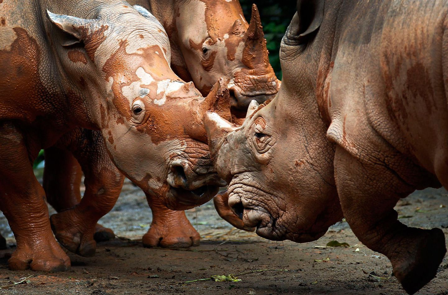 Mud-covered African Southern Rhinos face-off at the Singapore Zoo on July 17, 2012.  IMAGE: WONG MAYE-E/ASSOCIATED PRESS