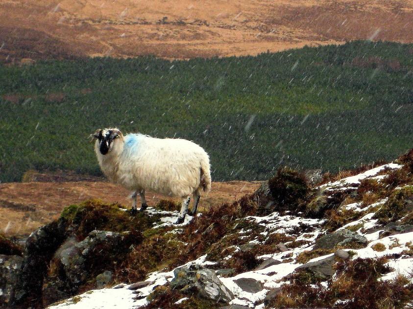 Mouton sous la neige Irlande