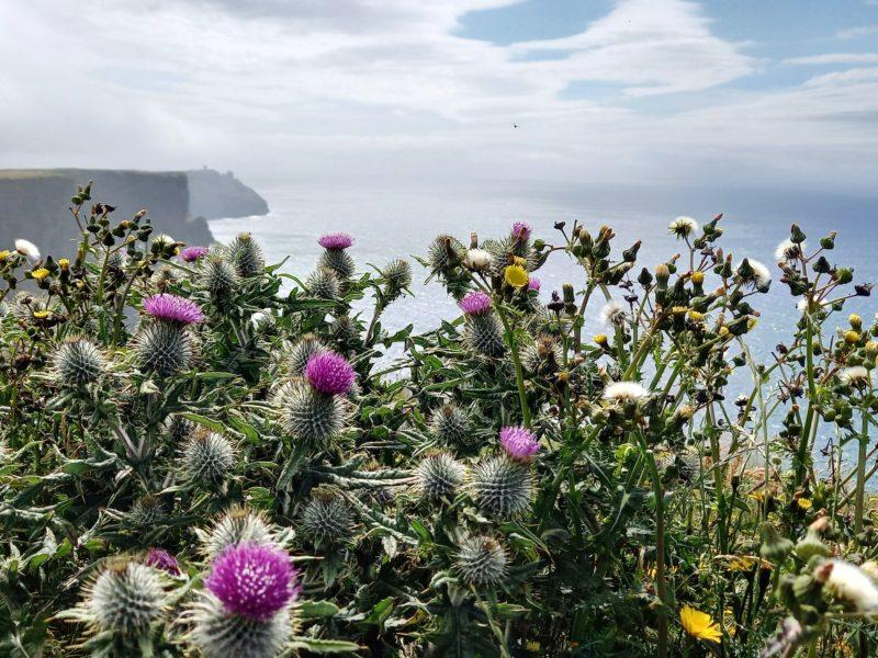 fleurs sauvages chardons pissenlis sur falaises de moher