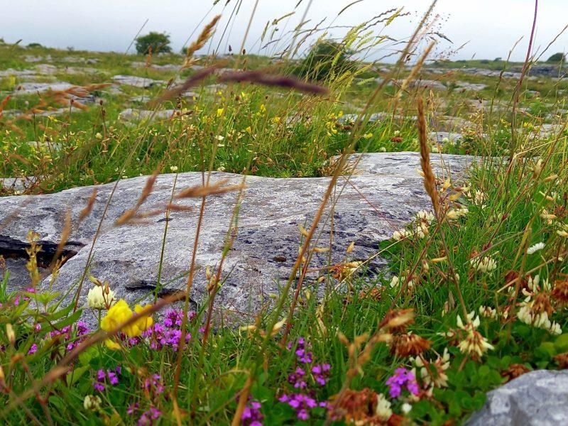 Variétés de fleurs sauvages Burren Irlande