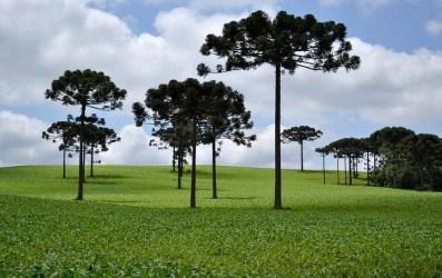 Araucária - pinheiro do Paraná