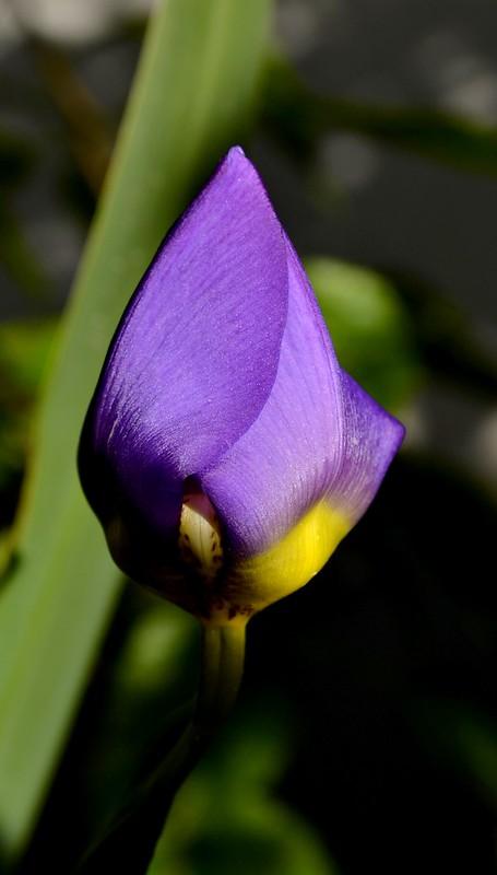 Flor saudade Neomarica caerulea