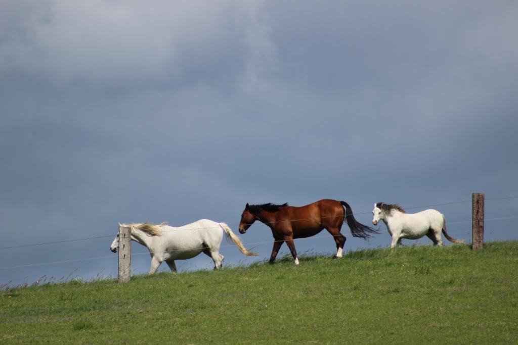 Když kůň nechce odejít od koní