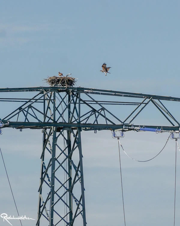 Greifvogel auf Strommast