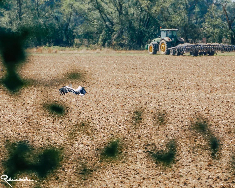 Storch auf dem Feld mit Traktor