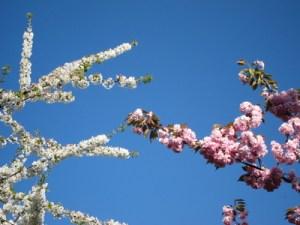 Immerhin drei Zierkirschen sollen in Raderberg gepflanzt werden, Bild: MichaelMueller410 / pixelio.de