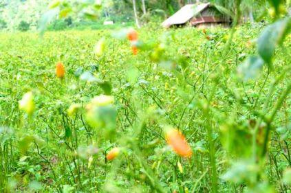 Lush fields, crop of chili