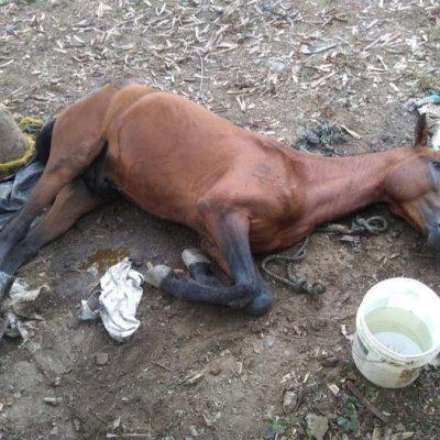 En Cali se siguen reportando caballos maltratados al ser usados como vehículos de tracción, aún cuando está prohibido